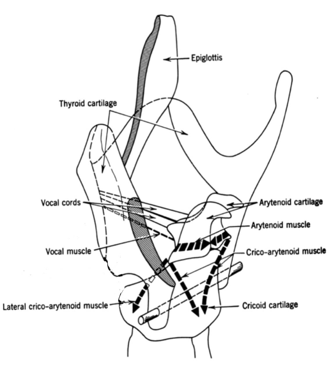 Innere Muskeln